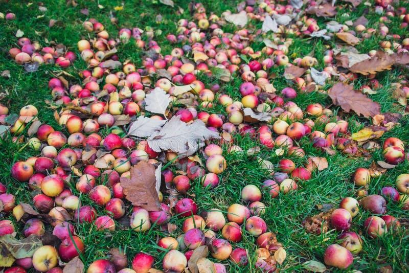 Κόκκινα μήλα στη χλόη κάτω από το δέντρο μηλιάς Υπόβαθρο φθινοπώρου - πεσμένα κόκκινα μήλα στο πράσινο έδαφος χλόης στον κήπο App στοκ εικόνες με δικαίωμα ελεύθερης χρήσης