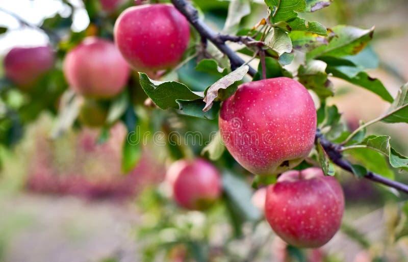 Κόκκινα μήλα στον κλάδο δέντρων μηλιάς στοκ φωτογραφίες