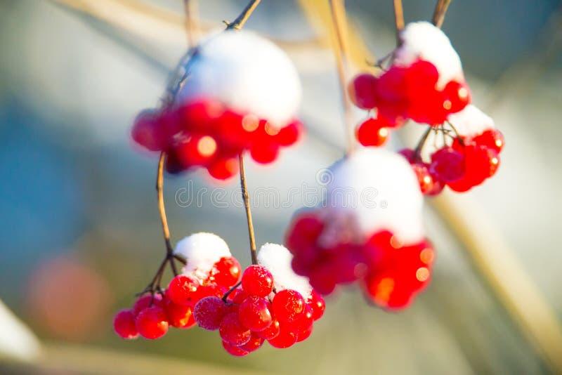 Κόκκινα μούρα και χιόνι στοκ φωτογραφία με δικαίωμα ελεύθερης χρήσης