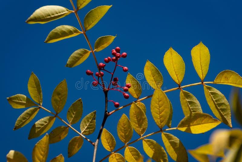 Κόκκινα μούρα Zanthoxylum του americanum, τραχιά τέφρα με τα κίτρινα φύλλα το φθινόπωρο στοκ εικόνες
