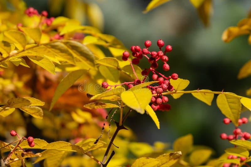 Κόκκινα μούρα Zanthoxylum του americanum, τραχιά τέφρα με τα κίτρινα φύλλα το φθινόπωρο στοκ φωτογραφίες με δικαίωμα ελεύθερης χρήσης