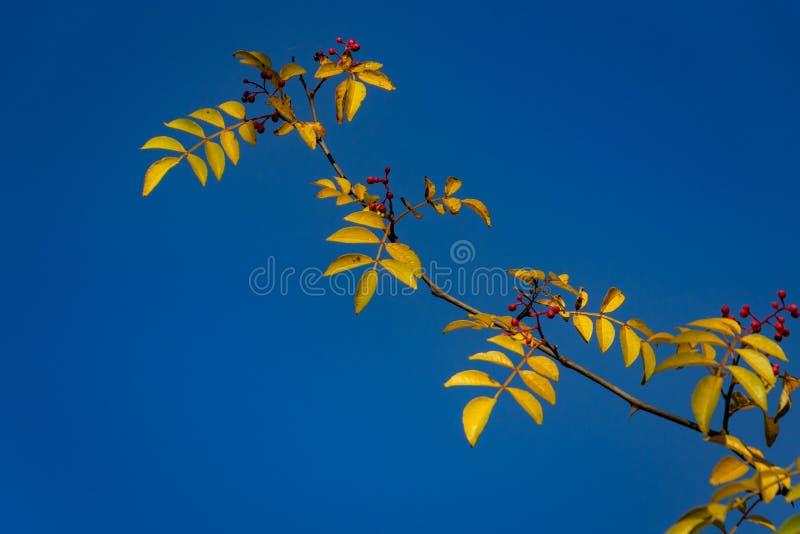 Κόκκινα μούρα Zanthoxylum του americanum, τραχιά τέφρα με τα κίτρινα φύλλα το φθινόπωρο Κινηματογράφηση σε πρώτο πλάνο στο φυσικό στοκ φωτογραφίες