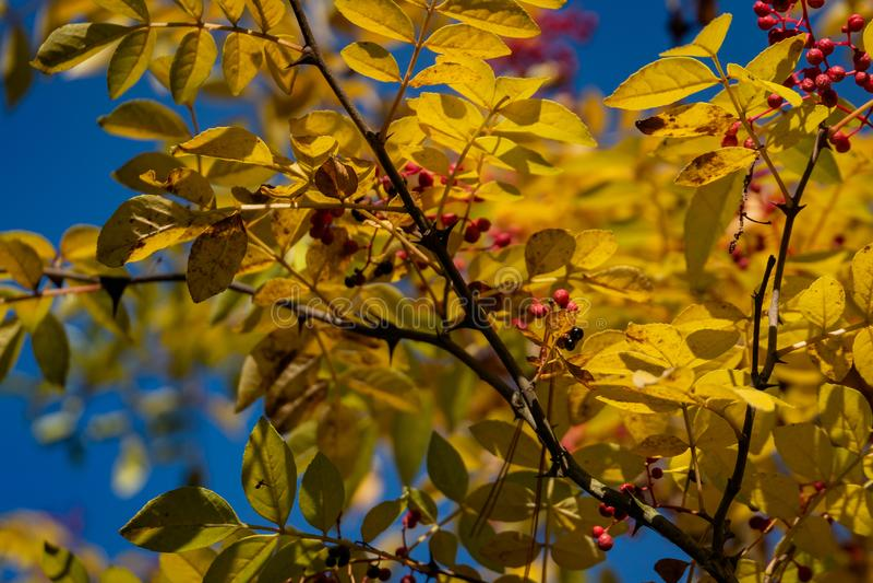 Κόκκινα μούρα Zanthoxylum του americanum, τραχιά τέφρα με τα κίτρινα φύλλα το φθινόπωρο Κινηματογράφηση σε πρώτο πλάνο στο φυσικό στοκ εικόνες