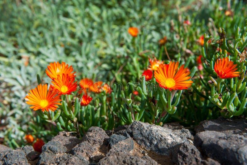 Κόκκινα λουλούδια ανθών Vygie δάχτυλων στοκ φωτογραφίες με δικαίωμα ελεύθερης χρήσης