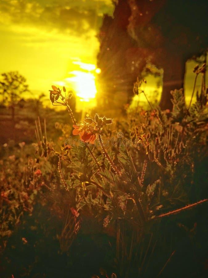 Κόκκινα λουλούδια κάτω από τις χρυσές ακτίνες στοκ εικόνα