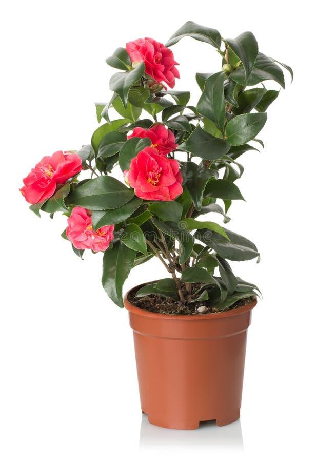 Κόκκινα λουλούδια καμελιών στο άσπρο υπόβαθρο στοκ εικόνα με δικαίωμα ελεύθερης χρήσης