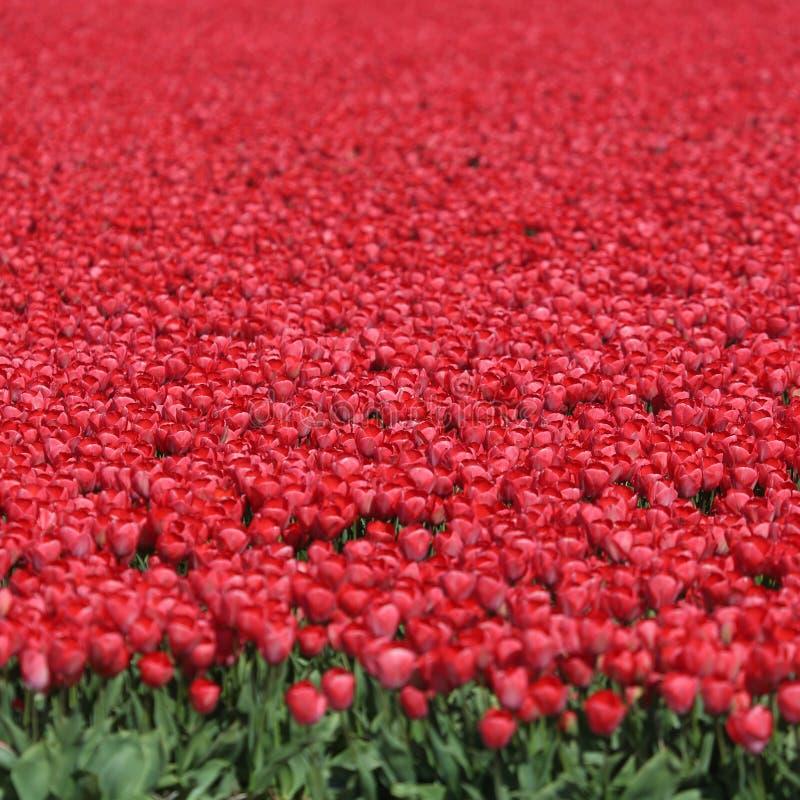 Κόκκινα λουλούδια τουλιπών τομέων λουλουδιών τουλιπών άνοιξη στις Κάτω Χώρες στοκ φωτογραφίες με δικαίωμα ελεύθερης χρήσης