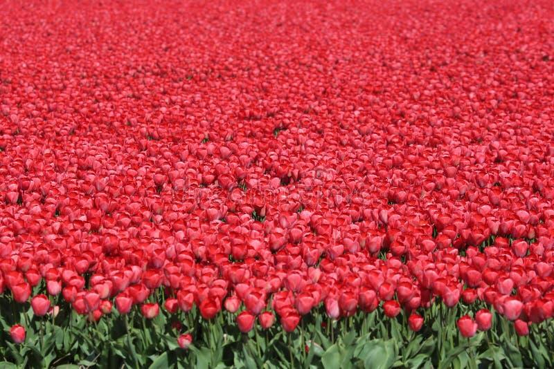 Κόκκινα λουλούδια τουλιπών τομέων λουλουδιών τουλιπών άνοιξη στοκ φωτογραφία με δικαίωμα ελεύθερης χρήσης