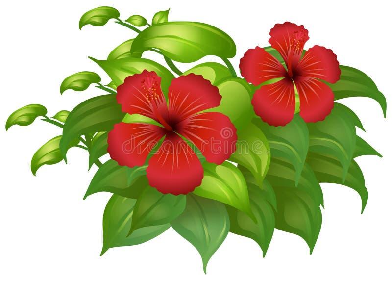 Κόκκινα λουλούδια hibicus στον πράσινο θάμνο απεικόνιση αποθεμάτων