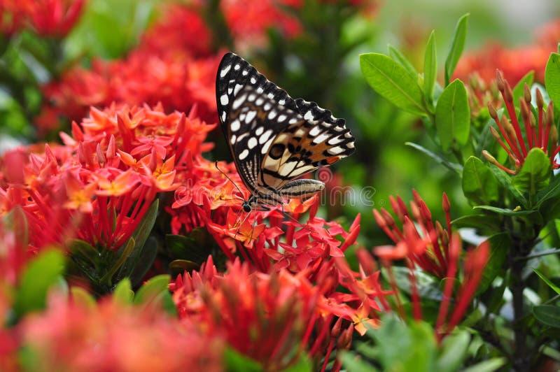 Κόκκινα λουλούδια ixora στοκ εικόνα