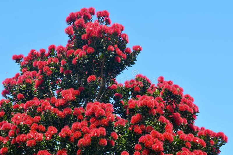 Κόκκινα λουλούδια Pohutukawa στοκ εικόνα με δικαίωμα ελεύθερης χρήσης