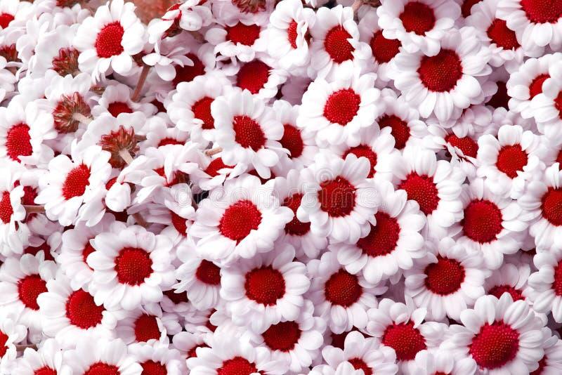Κόκκινα λουλούδια santini χρυσάνθεμων στοκ φωτογραφίες
