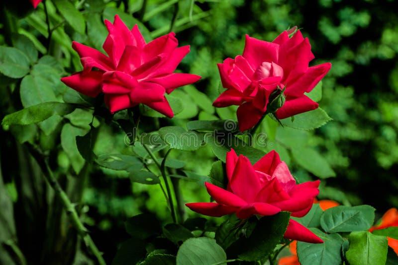 Κόκκινα τριαντάφυλλα από τον κήπο στοκ εικόνα