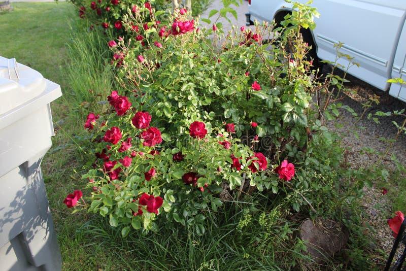 Κόκκινα τριαντάφυλλα Α1 στοκ φωτογραφία