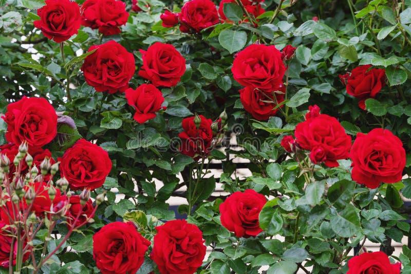 Κόκκινα τριαντάφυλλα, κάθετη διακόσμηση κήπων το καλοκαίρι στοκ εικόνες