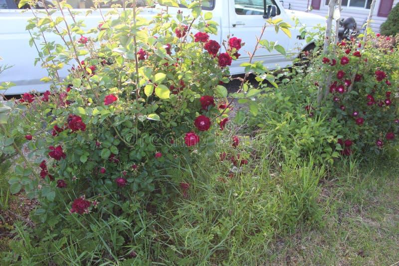 Κόκκινα τριαντάφυλλα 2 στοκ φωτογραφία με δικαίωμα ελεύθερης χρήσης