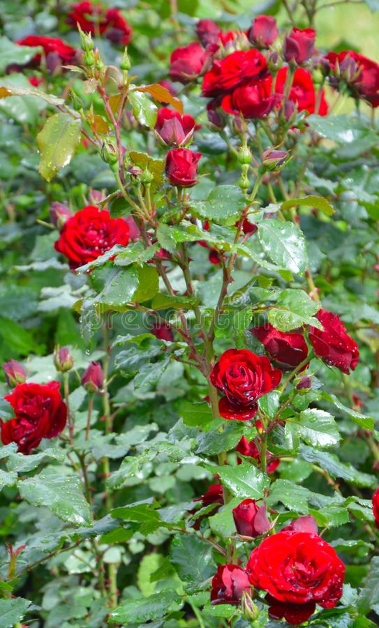 Κόκκινα τριαντάφυλλα με τη χλόη στη βροχή στοκ φωτογραφίες με δικαίωμα ελεύθερης χρήσης