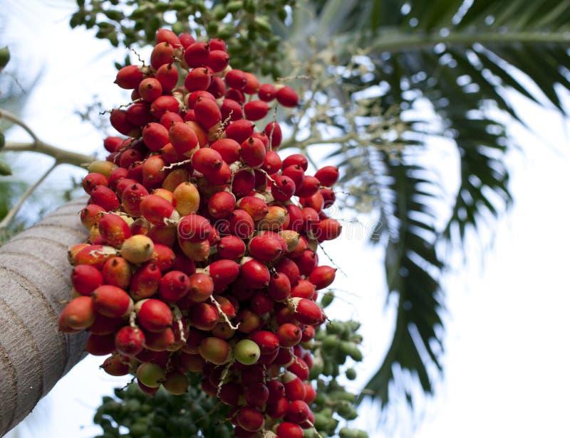 Κόκκινα τροπικά μούρα - φρούτα του φοίνικα Χριστουγέννων (φοίνικας της Μανίλα - Adonidia Merrillii) στοκ εικόνα