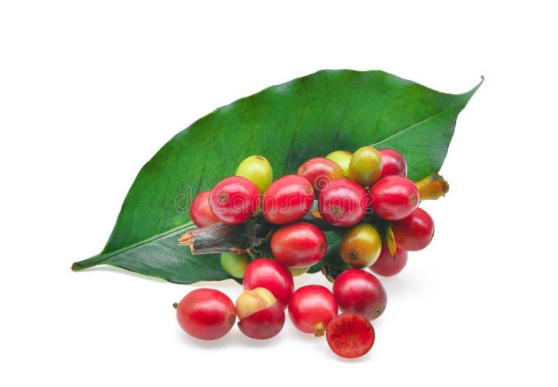 Κόκκινα φασόλια καφέ με το φύλλο καφέ που απομονώνεται στο λευκό στοκ εικόνες