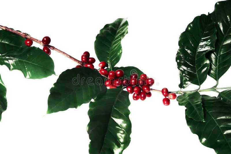 Κόκκινα φασόλια καφέ σε έναν κλάδο του δέντρου καφέ με τα φύλλα, ώριμα και unripe φασόλια καφέ που απομονώνονται στο άσπρο υπόβαθ στοκ εικόνες