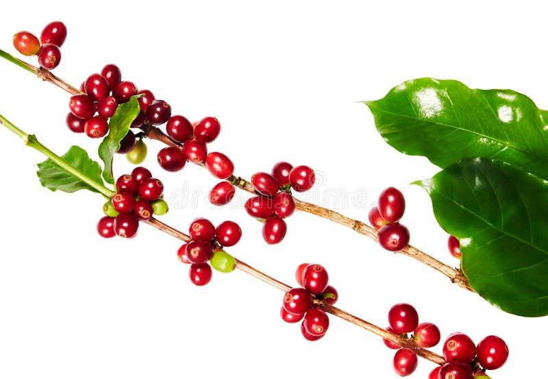 Κόκκινα φασόλια καφέ σε έναν κλάδο του δέντρου καφέ με τα φύλλα, ώριμα και unripe φασόλια καφέ που απομονώνονται στο άσπρο υπόβαθ στοκ εικόνα