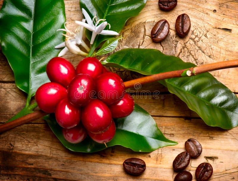 Κόκκινα φασόλια καφέ σε έναν κλάδο στοκ φωτογραφία με δικαίωμα ελεύθερης χρήσης