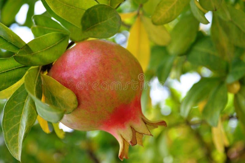 Κόκκινα φρούτα ροδιών στη μέση των φύλλων στοκ φωτογραφίες με δικαίωμα ελεύθερης χρήσης