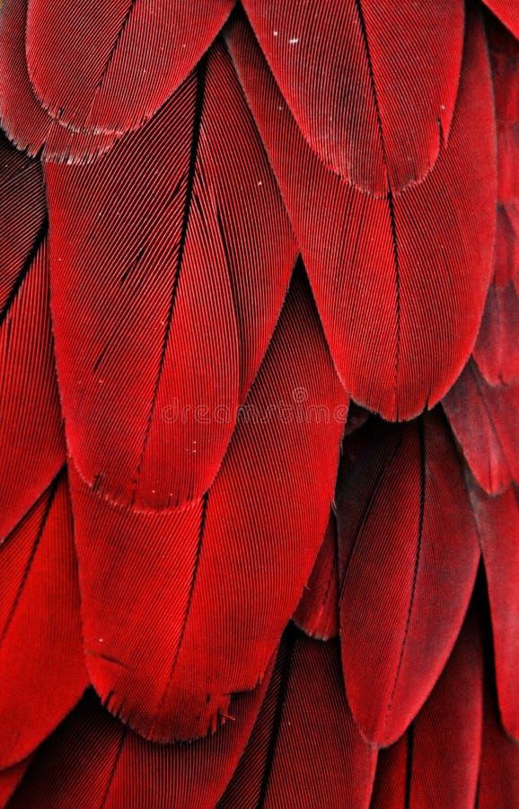 Κόκκινα φτερά Macaw στοκ εικόνες