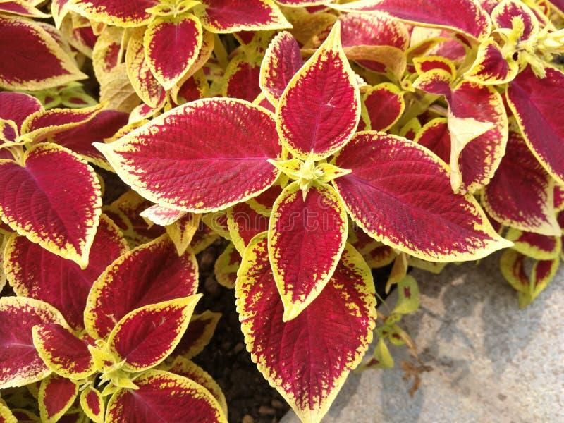 Κόκκινα φύλλα με την κίτρινη περιποίηση Coleus Blumei στοκ εικόνα