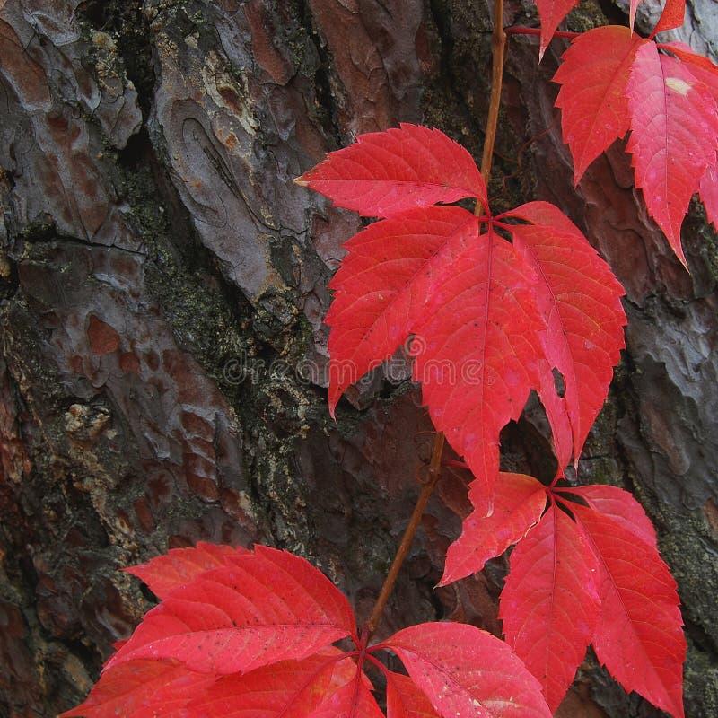 Κόκκινα φύλλα στο δέντρο πεύκων στοκ εικόνα