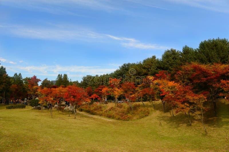Κόκκινα φύλλα σφενδάμνου στην Κορέα στοκ εικόνα