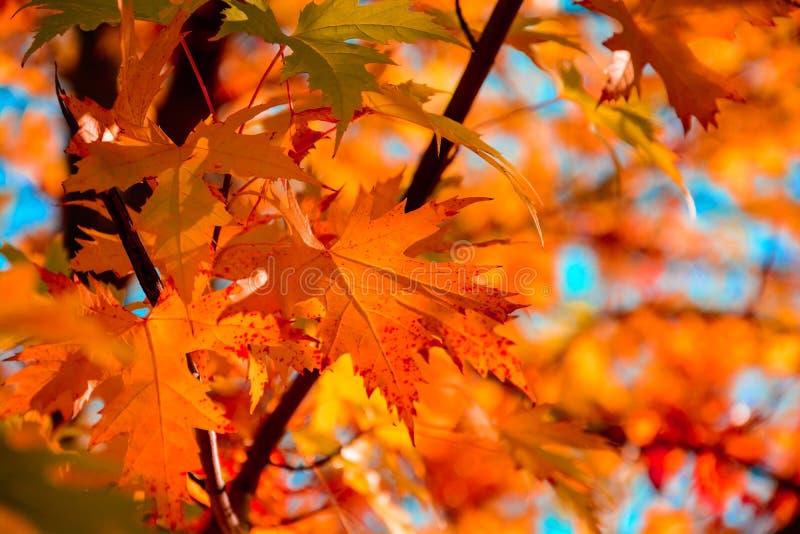Κόκκινα φύλλα σφενδάμου στην εποχή φθινοπώρου με το υπόβαθρο μπλε ουρανού Εκλεκτική εστίαση στοκ εικόνες