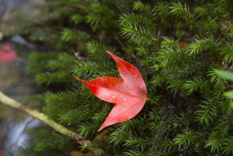 Κόκκινα φύλλα σφενδάμου στο πράσινο υπόβαθρο βρύου στοκ εικόνα