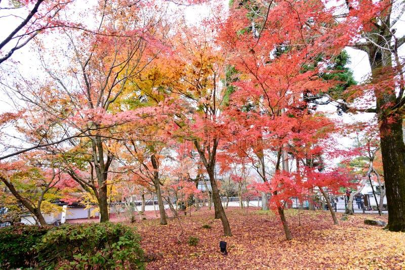 Κόκκινα φύλλα σφενδάμου της Ιαπωνίας στον ιαπωνικό κήπο, ναός εποχή φθινοπώρου του Κιότο, Ιαπωνία Eikando στοκ φωτογραφίες