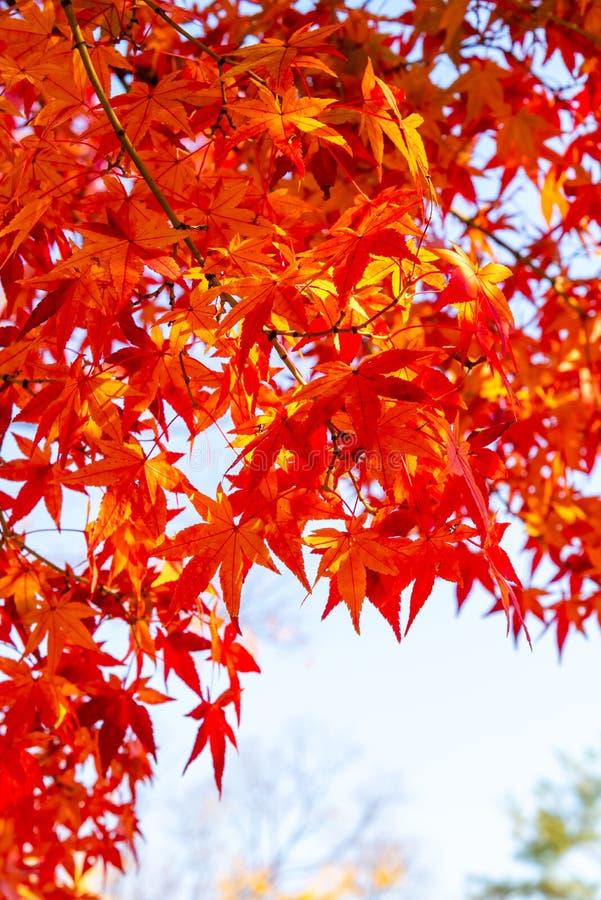 Κόκκινα φύλλα σφενδάμου φθινοπώρου με το υπόβαθρο ουρανού στοκ φωτογραφίες