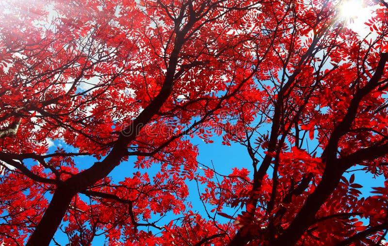 Κόκκινα φύλλα φθινοπώρου ιτιών λουλουδιών κάτω από τον ήλιο στοκ εικόνες
