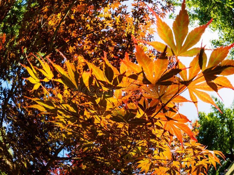 Κόκκινα φύλλα φθινοπώρου του σφενδάμνου που καίγεται στις ακτίνες του ήλιου Εικόνα Fisheye στοκ φωτογραφίες