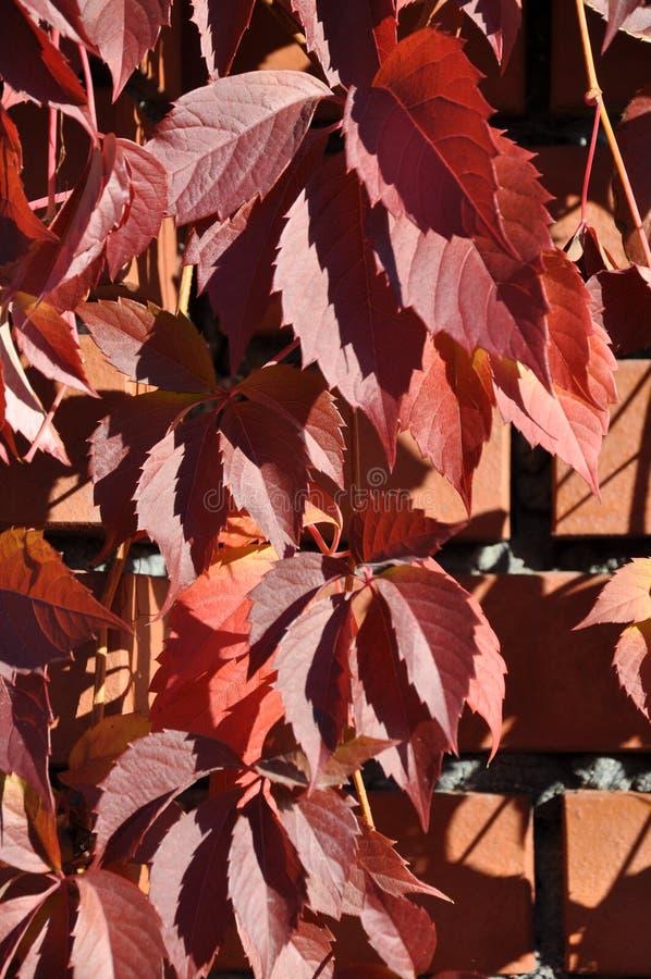 Κόκκινα φύλλα κισσών σε έναν τουβλότοιχο στοκ φωτογραφία