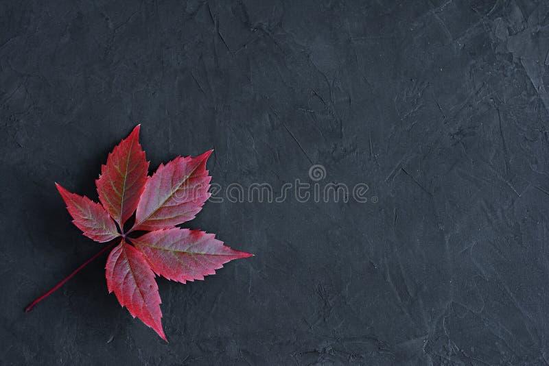 Κόκκινα φύλλα πτώσης του αναρριχητικού φυτού της Βιρτζίνια στοκ φωτογραφίες με δικαίωμα ελεύθερης χρήσης