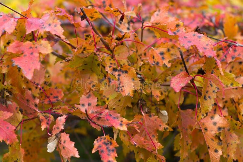 Κόκκινα φύλλα φθινοπώρου στους κλάδους στοκ εικόνα