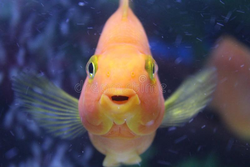 Κόκκινα ψάρια παπαγάλων στοκ εικόνα με δικαίωμα ελεύθερης χρήσης