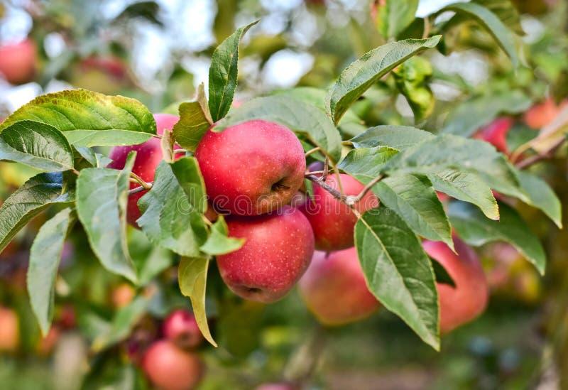 Κόκκινα ώριμα μήλα σε έναν κλάδο με τα φύλλα στοκ εικόνες