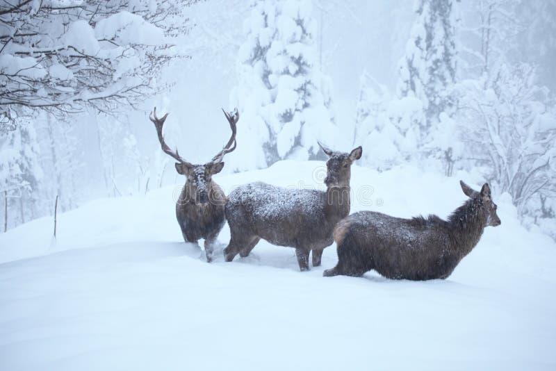 Κόκκινα deers στοκ εικόνες