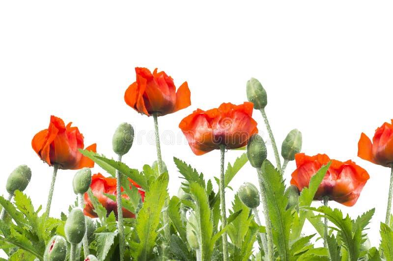 Κόκκινα floral σύνορα παπαρουνών, που απομονώνονται στο λευκό στοκ εικόνα με δικαίωμα ελεύθερης χρήσης