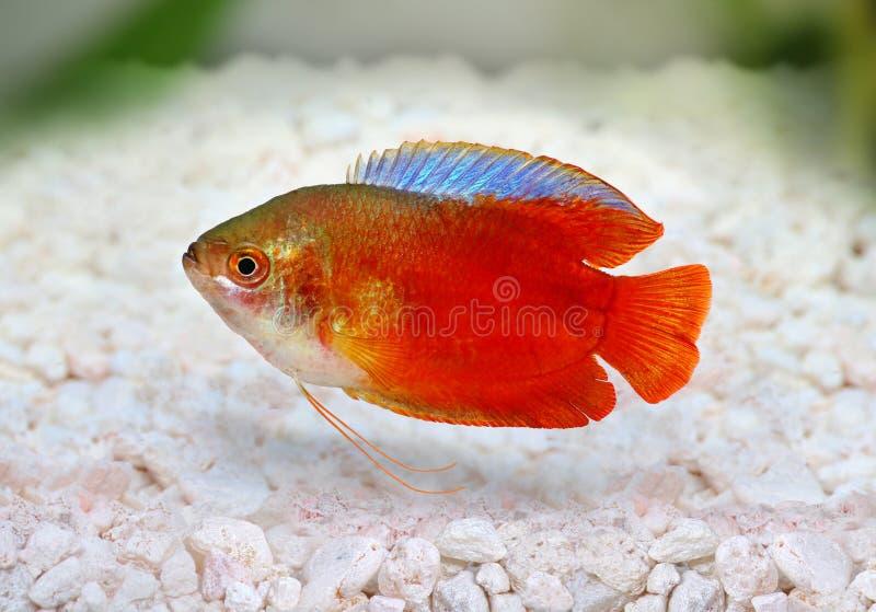 Κόκκινα gourami φλογών Trichogaster ψάρια ενυδρείων lalius του γλυκού νερού στοκ εικόνα