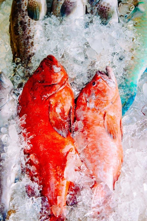 Κόκκινα grouper ψάρια στοκ εικόνες
