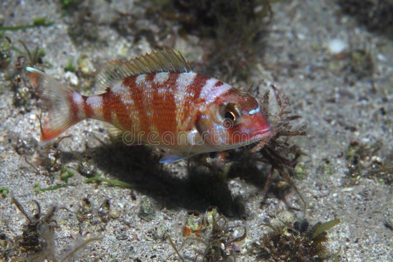Κόκκινα pandora ψάρια στοκ φωτογραφία