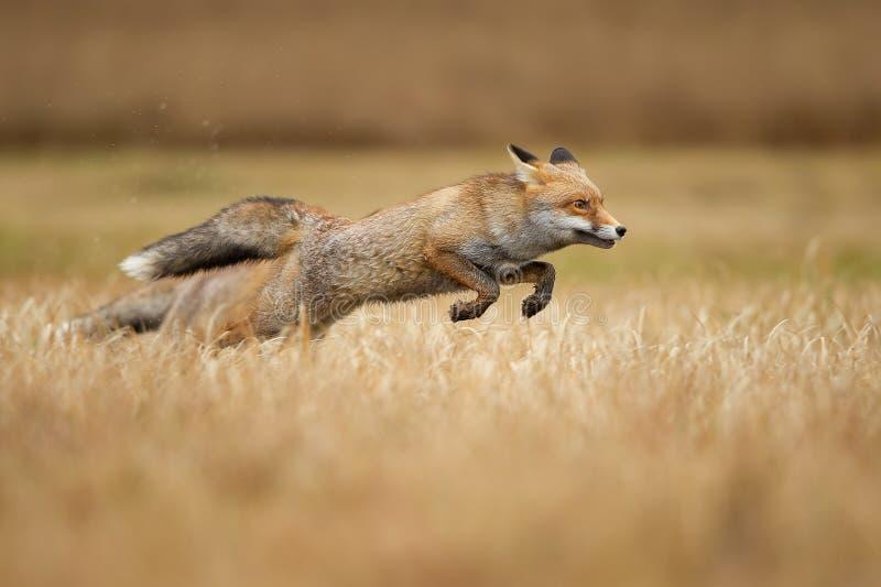 Κόκκινες αλεπούδες πάνω από χόρτο Αιδοίο Κυνήγι και ταχύτητα Ζώο που πηδάει στοκ φωτογραφίες