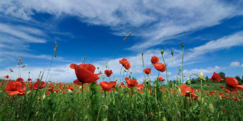 κόκκινες ανθίζοντας παπαρούνες το καλοκαίρι σε έναν πράσινο τομέα ενάντια σε έναν μπλε ουρανό Καλυμμένος από κάτω από στοκ φωτογραφία με δικαίωμα ελεύθερης χρήσης