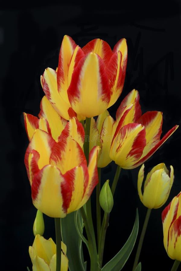 Κόκκινες και κίτρινες τουλίπες - tulipa - που απομονώνεται σε ένα μαύρο κλίμα σε έναν κήπο στοκ φωτογραφίες